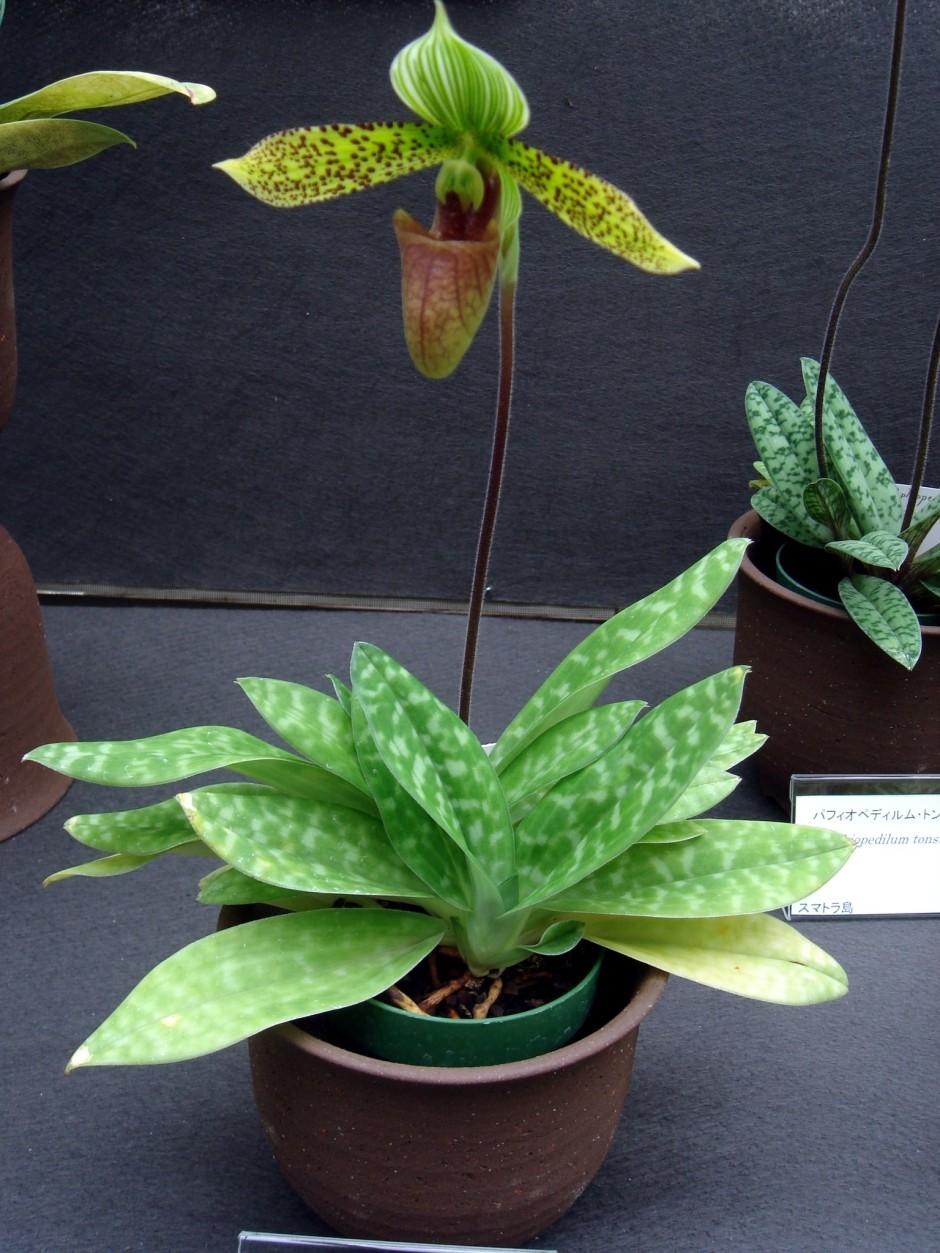paphiopedilum-sukhakulii-8