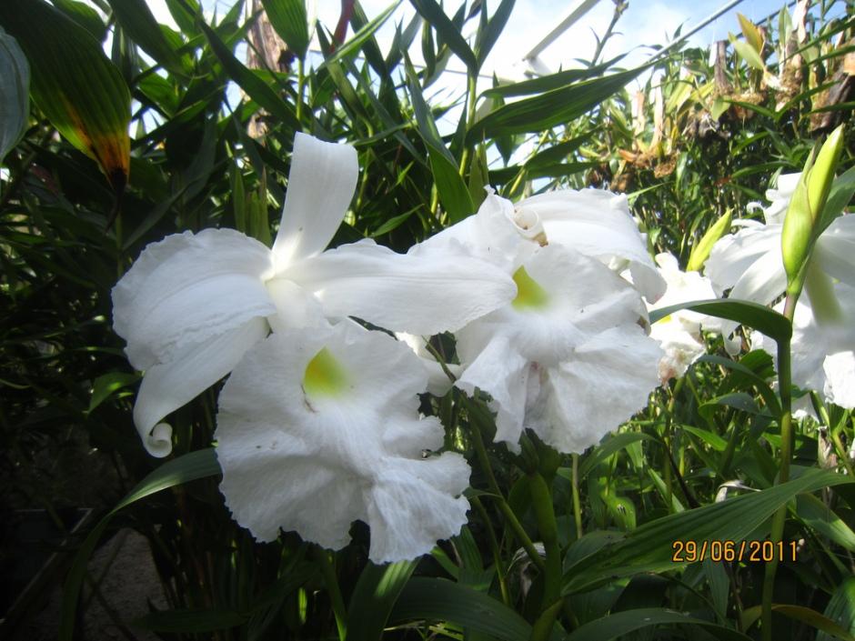 sobralia-macrantha-16