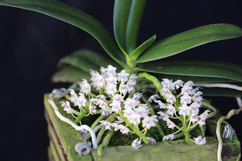 2° lugar - Categoria 7 - Tuberolabium kotoense