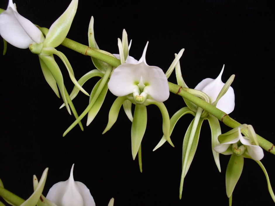 angraecum-eburneum-1