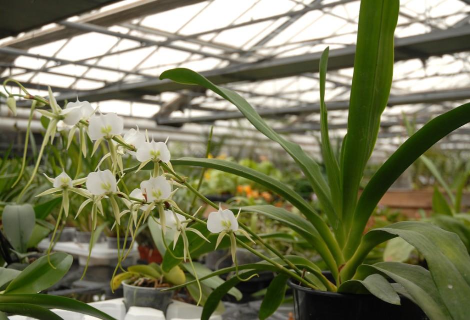 angraecum-eburneum-5