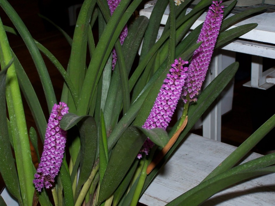 arpophyllum-giganteum-2