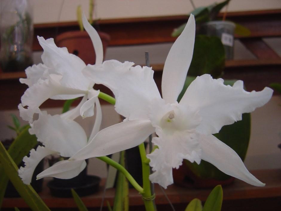 brasilaelia-lobata-alba-1