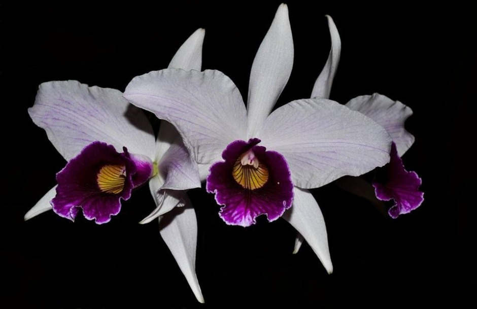 brasilaelia-purpurata-11