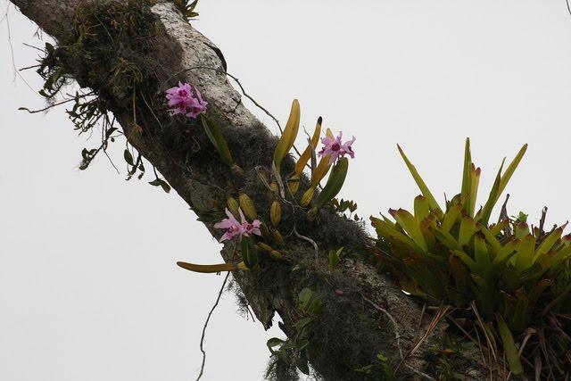 brasilaelia-purpurata-15