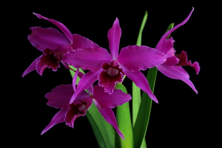 brasilaelia-purpurata-2