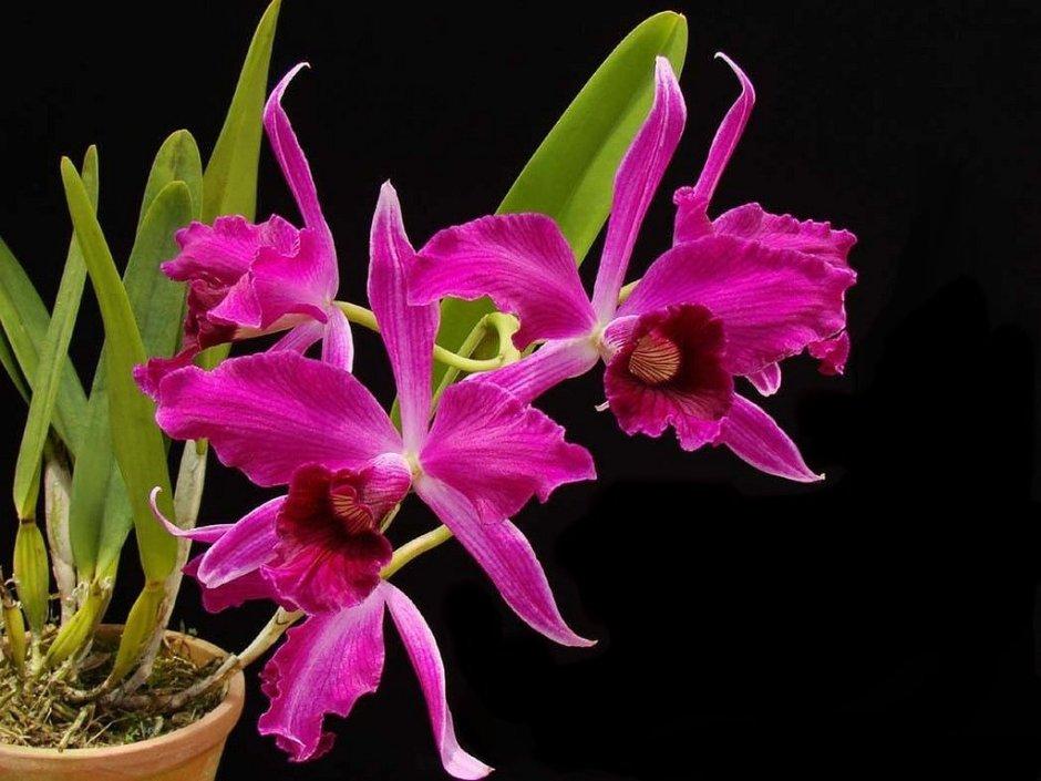 brasilaelia-purpurata-4