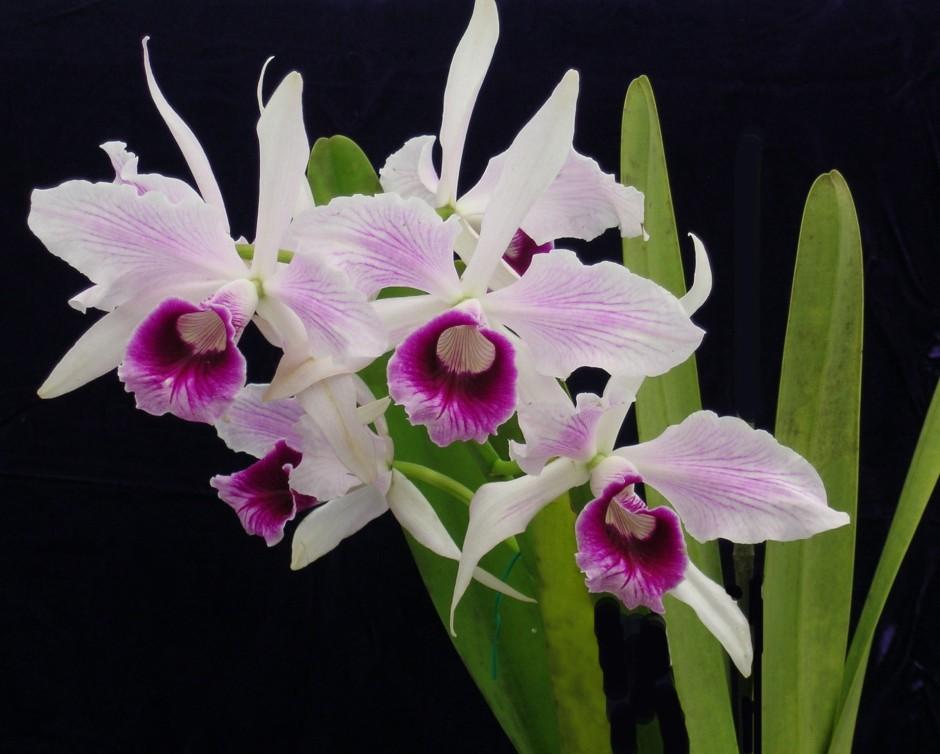 brasilaelia-purpurata-6
