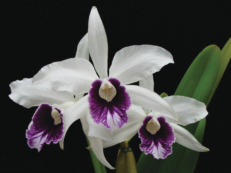 brasilaelia-purpurata-8