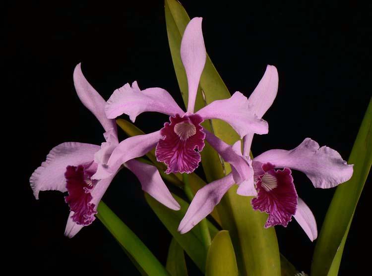 brasilaelia-purpurata-9