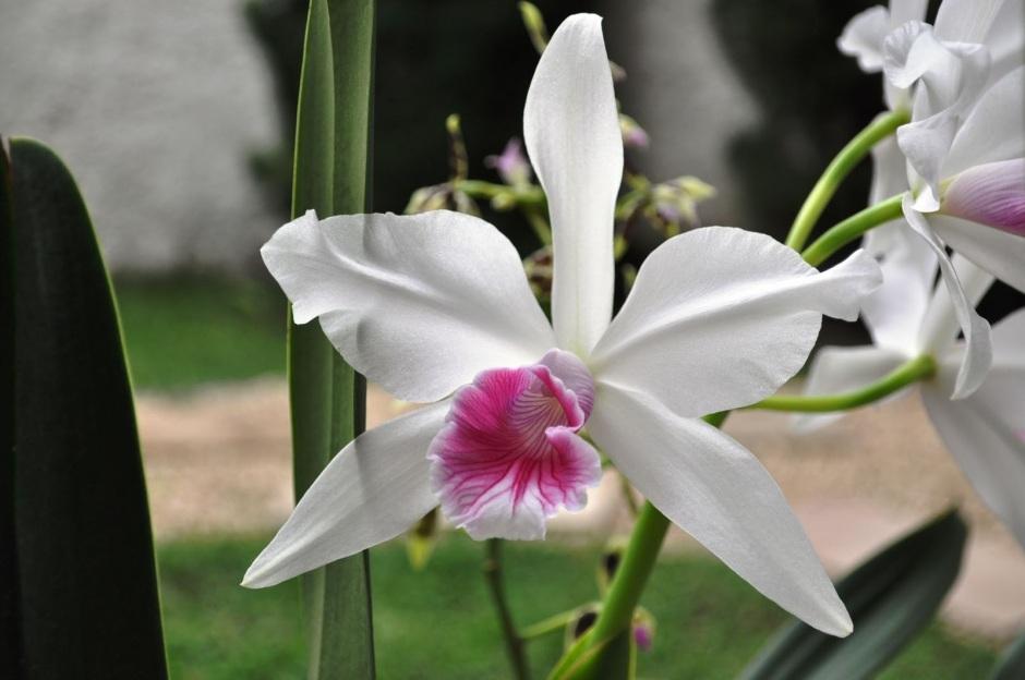 brasilaelia-purpurata1
