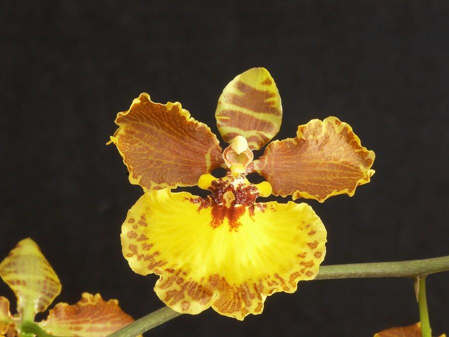 brasilidium-gardneri-8