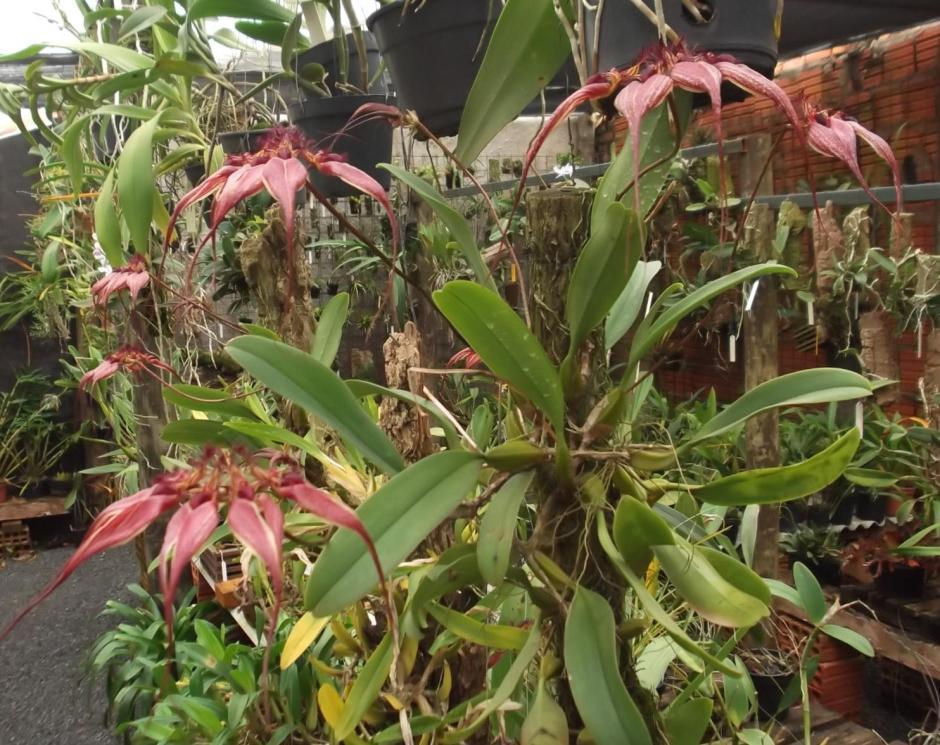 bulbophyllum-rothschildianum-12