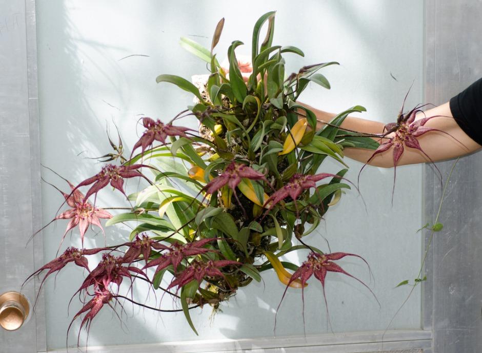 bulbophyllum-rothschildianum-5