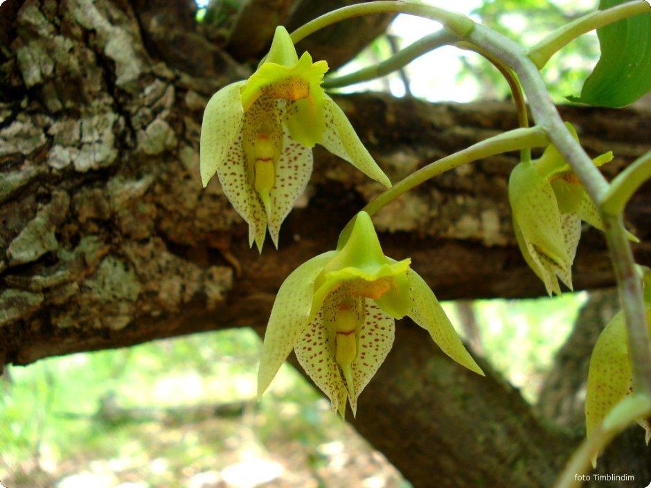 catasetum-fimbriatum-10