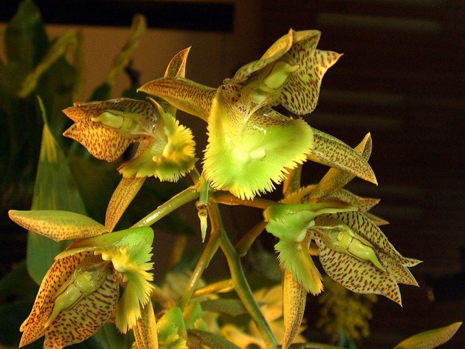catasetum-fimbriatum-2