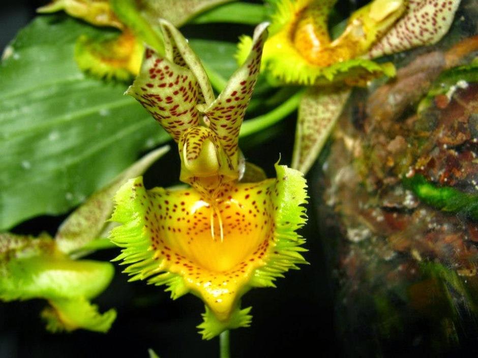 catasetum-fimbriatum-3