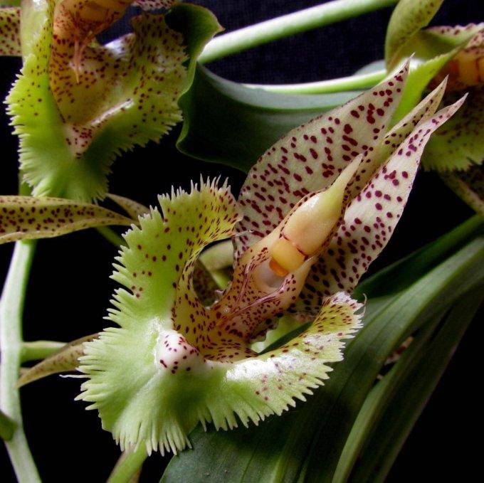 catasetum-fimbriatum-6