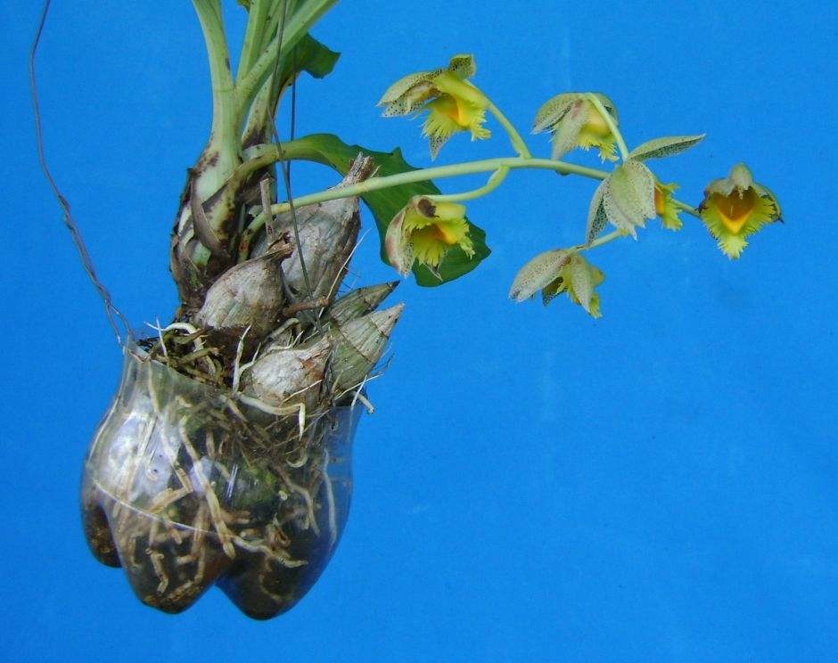 catasetum-fimbriatum-pet