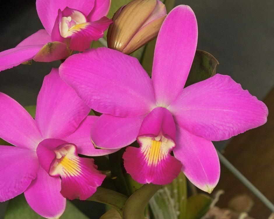 cattleya-violacea-2