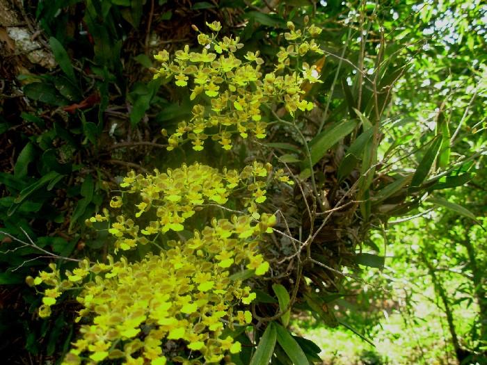 coppensia-macronyx-11
