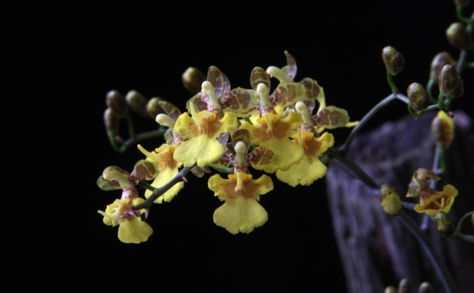 coppensia-macronyx-2