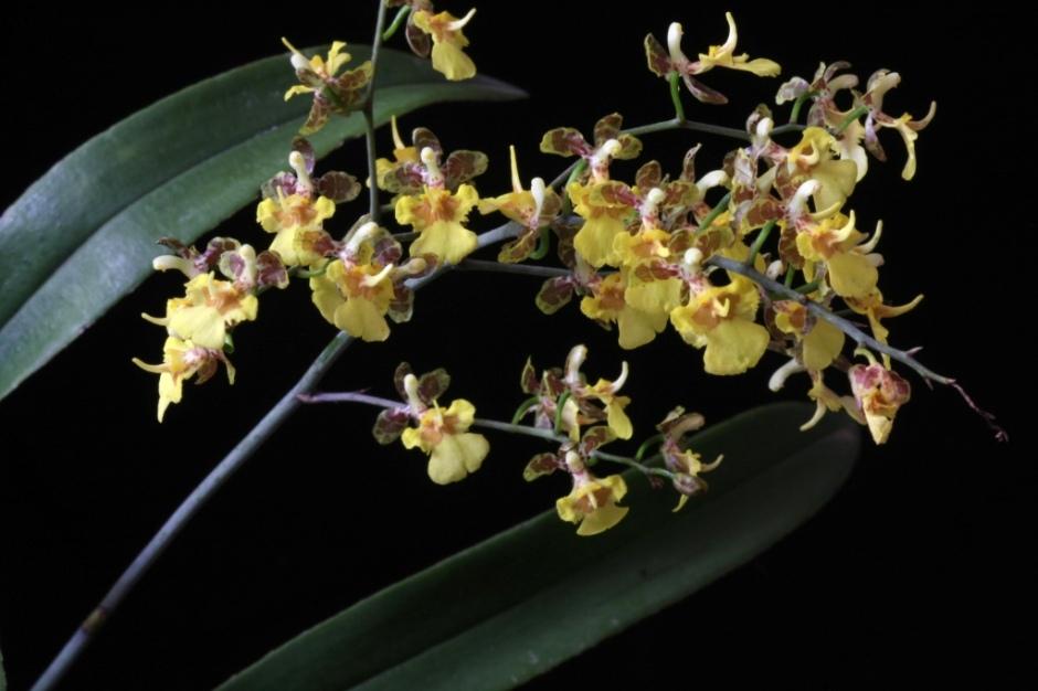 coppensia-macronyx-5