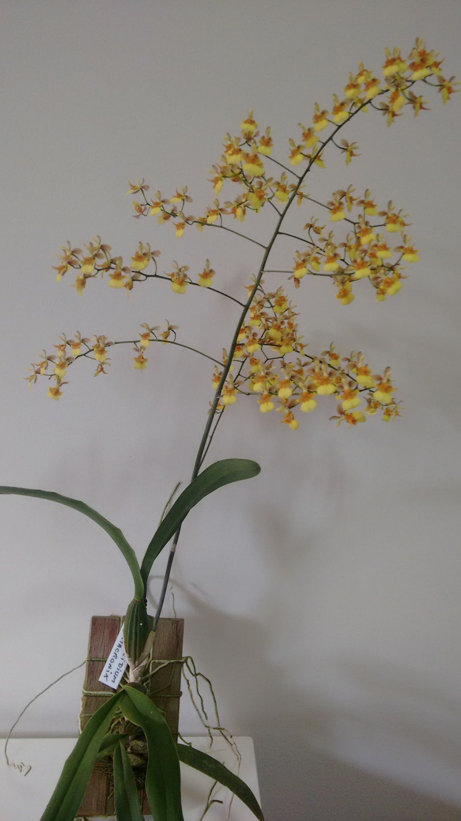 coppensia-macronyx2