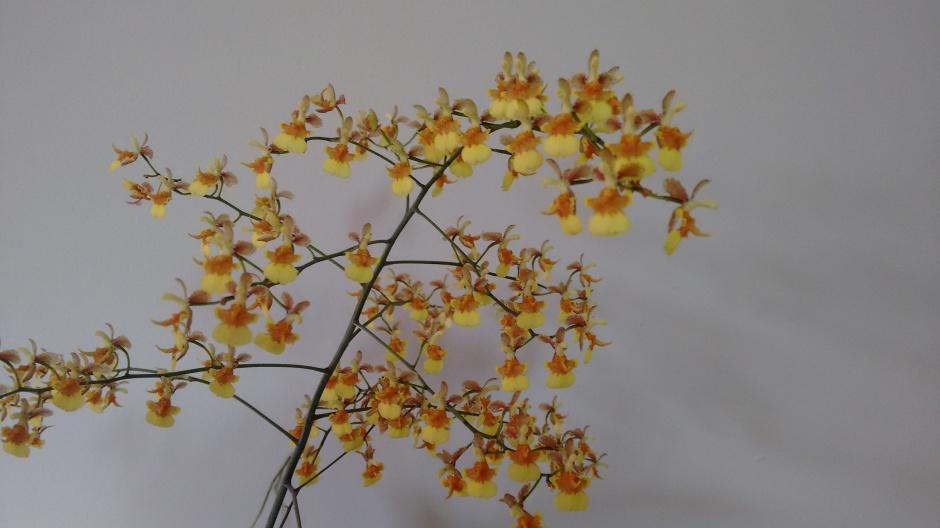 coppensia-macronyx3