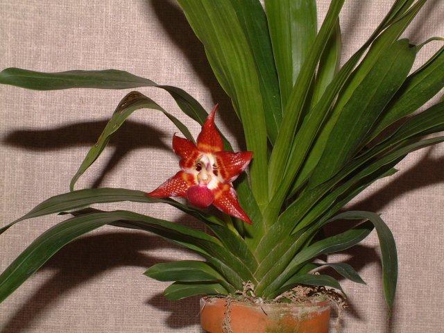 huntleya-meleagris-8