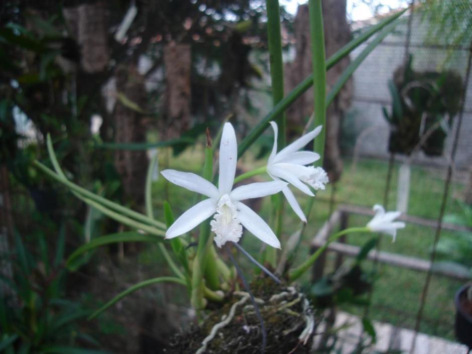 microlaelia-lundii-var-alba