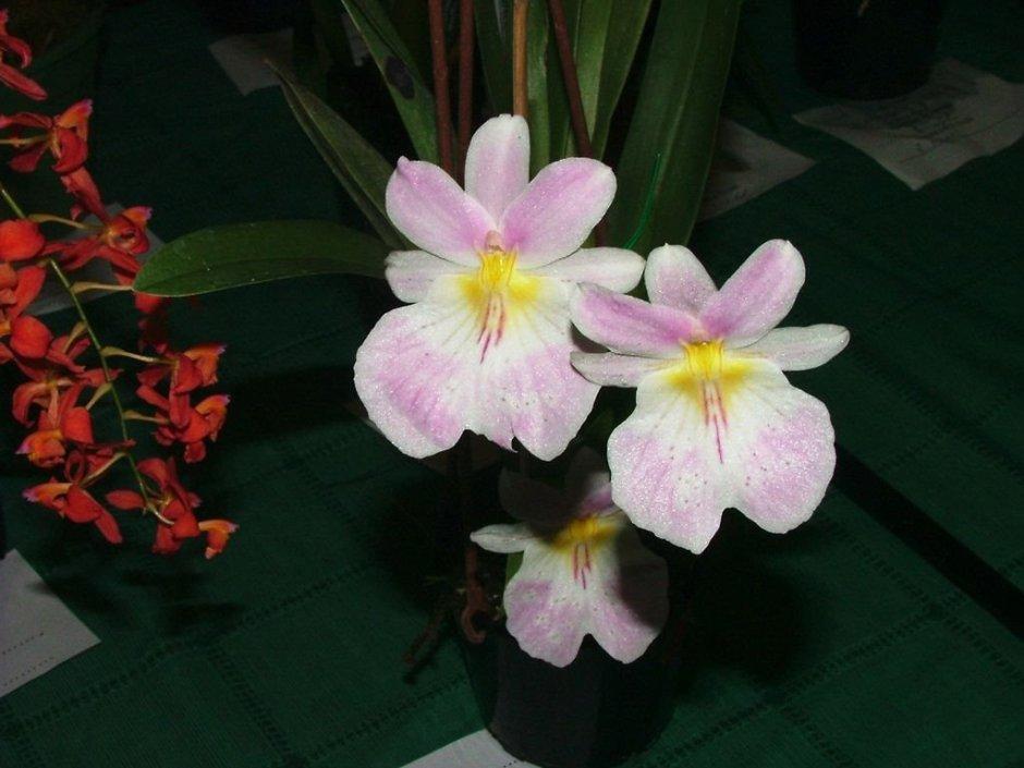 miltoniopsis-vexillaria-11