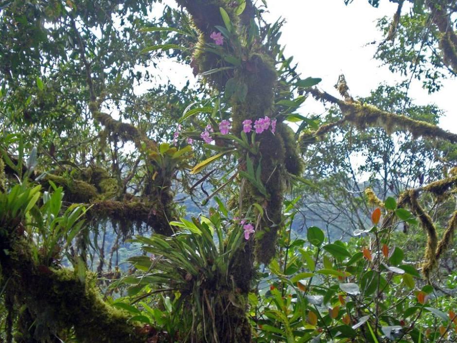 miltoniopsis-vexillaria-12