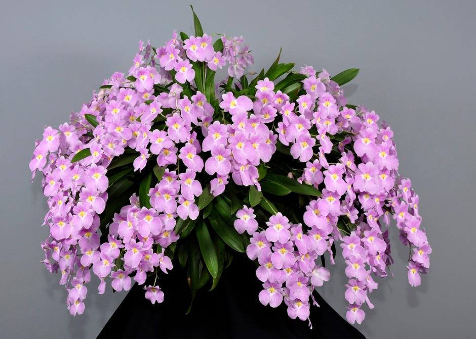 miltoniopsis-vexillaria-2