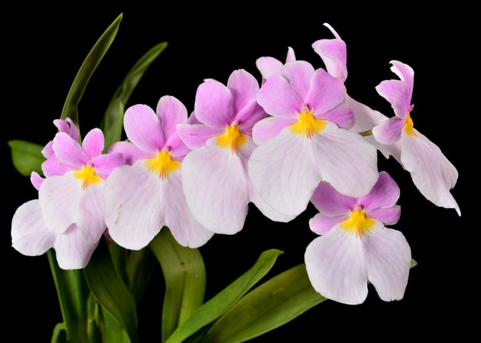 miltoniopsis-vexillaria-4