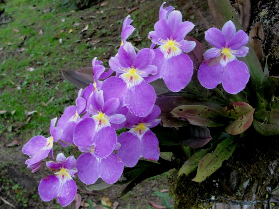 miltoniopsis-vexillaria-9