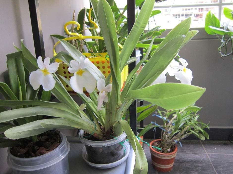 miltoniopsis-vexillaria-var-alba