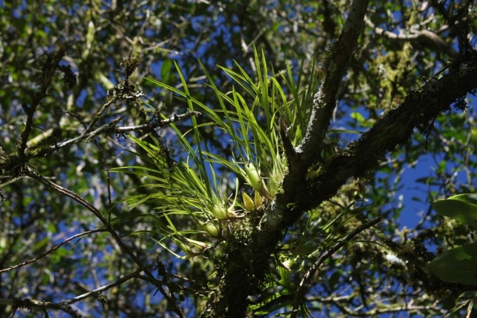 ornitophora-radicans-12