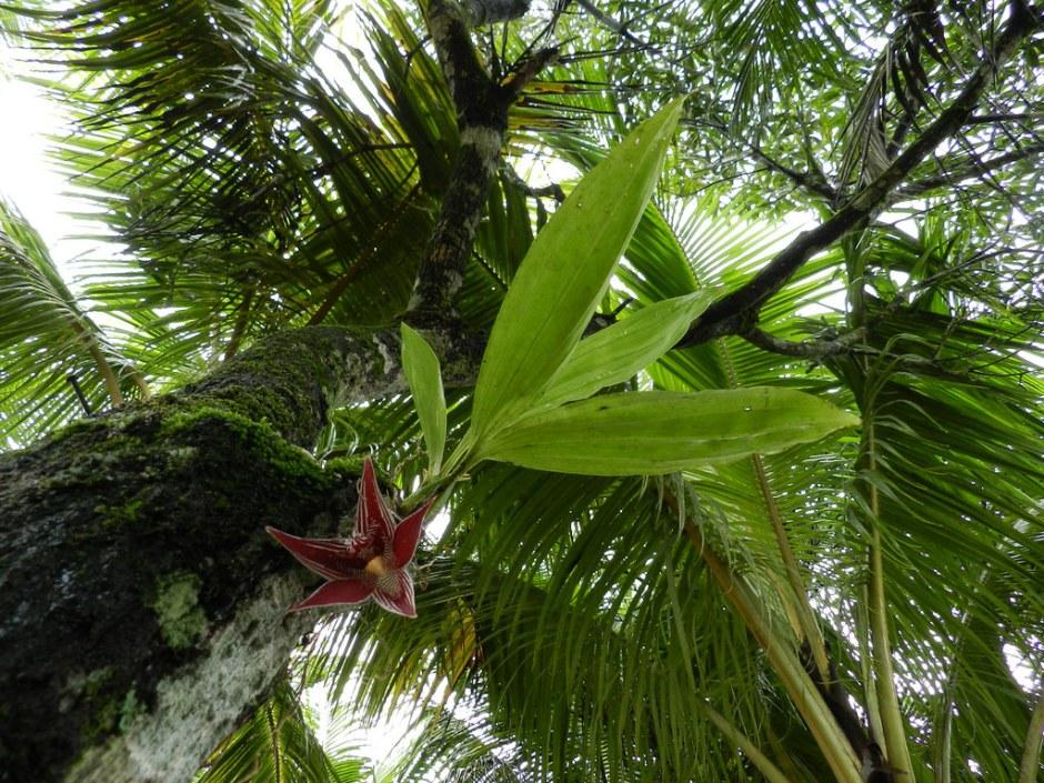 paphinia-cristata-10