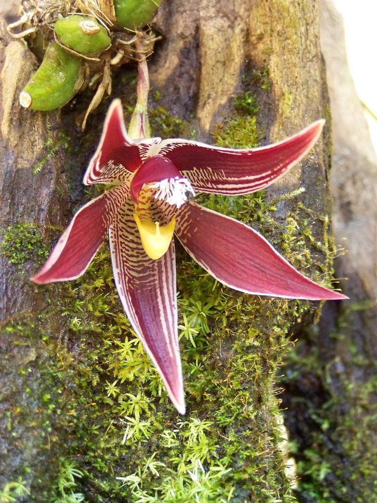 paphinia-cristata-11