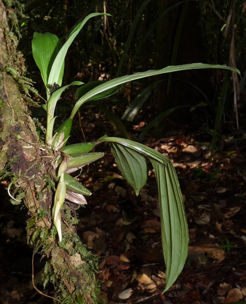 paphinia-cristata-14