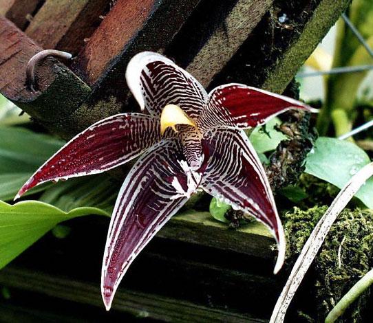 paphinia-cristata-3