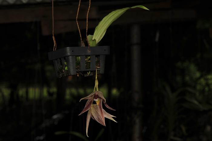 paphinia-cristata-7