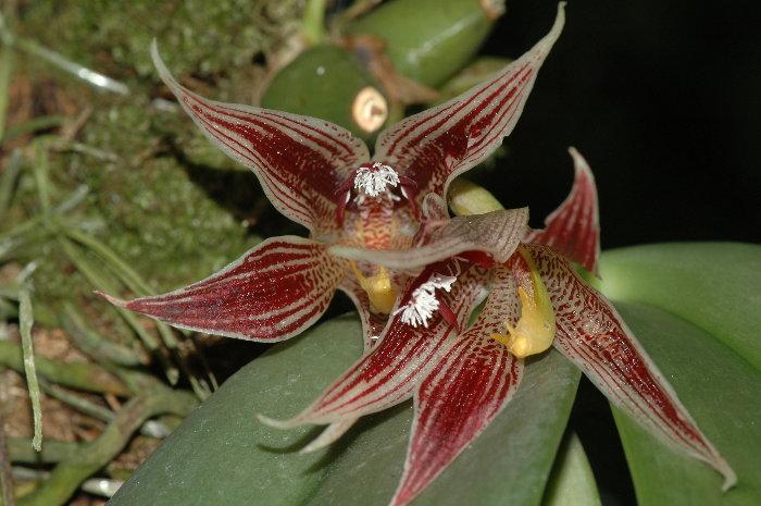 paphinia-cristata-8