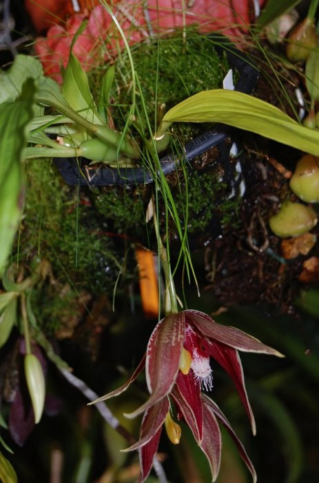 paphinia-cristata-9