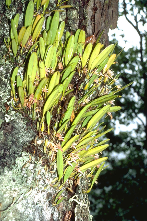 bulbophyllum-affine-12