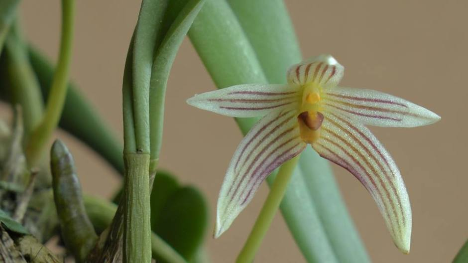 bulbophyllum-affine-6