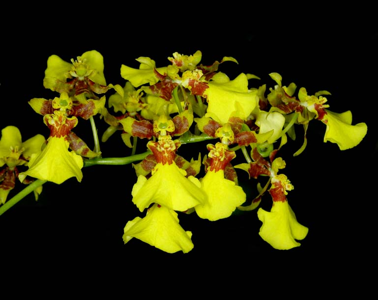 coppensia-flexuosa-1