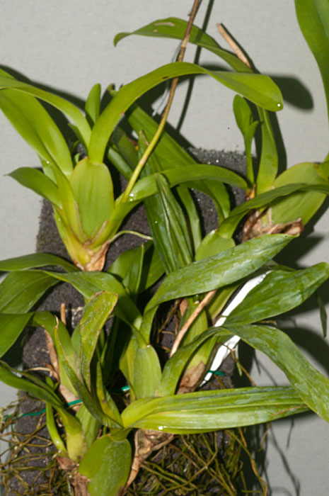 coppensia-flexuosa-11