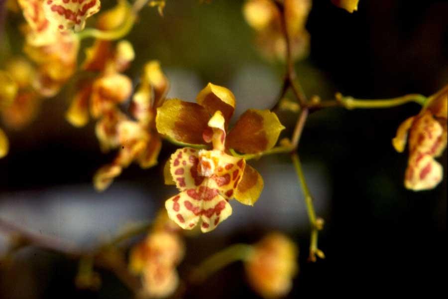 grandiphyllum-pulvinatum-2